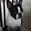 Boston Terrier - ALICE CUTE LADY Canebosto
