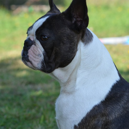 Boston Terrier - ARTHUR CUTE ELEGANT Canebosto