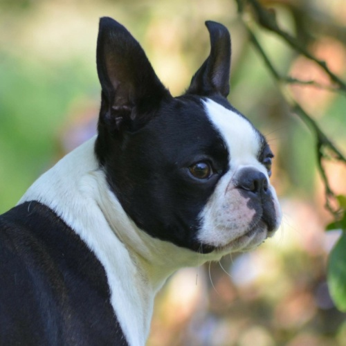Boston Terrier - BELLO Canebosto