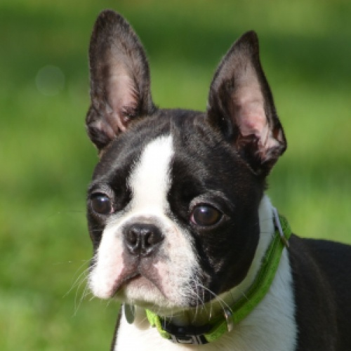 Boston Terrier - PERFECTO CANEBOSTO Soprattutto